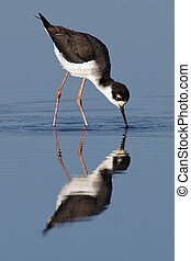 Black-necked Stilt foraging - Black-necked Stilt foraging...