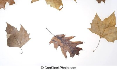 autumnal leaves - falling leaves in stop motion over white