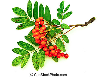 ashberry branch against the white background
