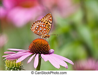 Fritillary butterfly on coneflower - Fritillary butterfly...