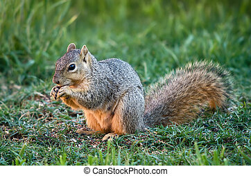 Squirrel eating bird seeds
