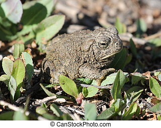 Woodhouse's Toad - A Woodhouse's Toad in Eastern Washington