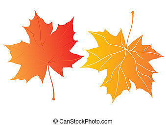 maple leaves - two autumn maple leaves over the white...