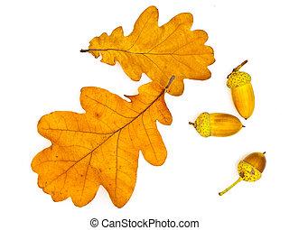 roble, hojas, bellotas