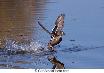 Mallard running on water  - Mallard running on water