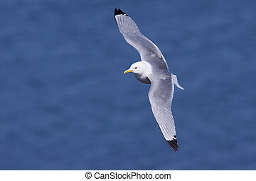 Kittiwake in flight  - Kittiwake in flight