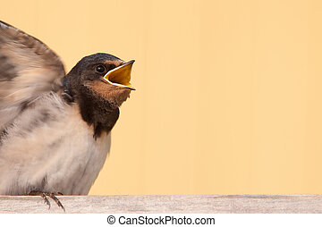 Young barn swallow begging for food