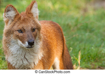 Portrait of a Dhole also known as a Red Dog or an Asian Wild...
