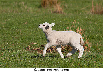 Little lamb walking with its chin up high