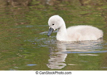 A cygnet is swimming in the water - A cygnet is swimming in...