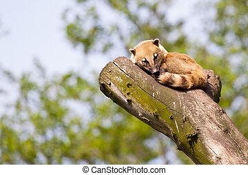 South American coati or ring-tailed coati (Nasua nasua)