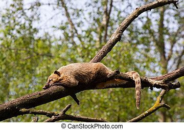 South American coati or ring-tailed coati Nasua nasua...