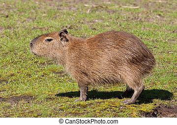 Capybara cub standing in a field