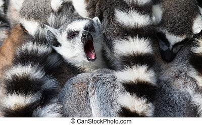 Ring-tailed lemurs (Lemur catta) huddle together with one...