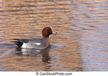 macho, Wigeon, ou, Eurasian, Wigeon, (Anas, penelope,...