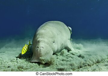 dugong eating at sunset - dugong below the surface of the...