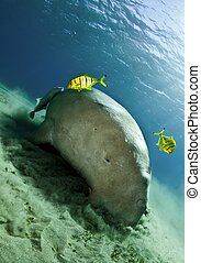 sea cow aka dugong - dugong