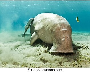 dugong dugon - dugong eating
