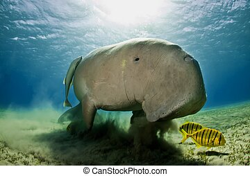 manatee - dugong in red sea