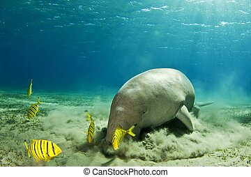 sea cow, manatee - dugong eating