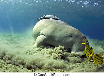 dugong, sea cow - sea cow