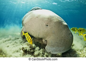 dugong in the company of fishes - dugong eating in red sea,...