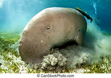 dugong at lunch time
