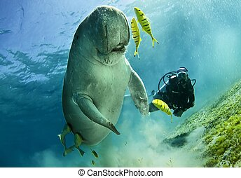 diver and dugong - diver swimming along with a dugong in...