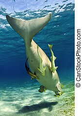 dugong with remora fishes