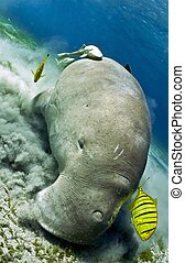 dugong eating sea grass