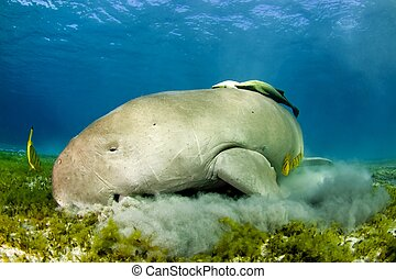 luch time for the dugong - dugong eating sea grass in red...