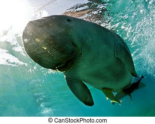dugong dugon, red sea, egypt