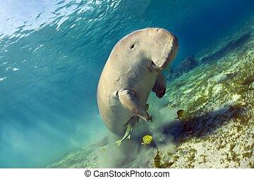 dugong dugon - dugong