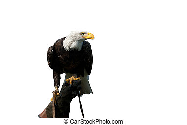 American bald eagle on the hand of a falconer