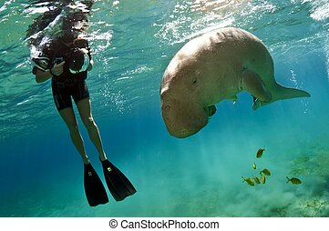 snorkeller and the dugong - snorkeller with the dugong in...