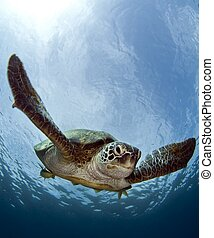 turtle - green turtle swimming
