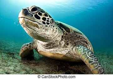 green sea turtle - Chelonia mydas, the green sea turtle