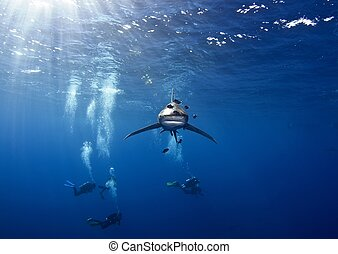 shark and divers - an oceanic white tip shark swimming along...