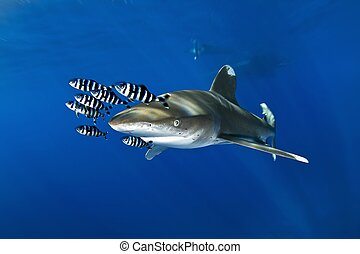 oceanic white tip shark - carcharhinus longimanus