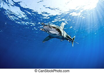 oceanic white tip shark swimming along with pilot fishes