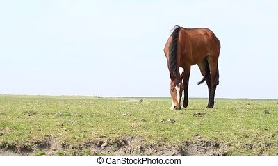 Grazing brown horse