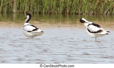 Avocets cleaning and resting in water