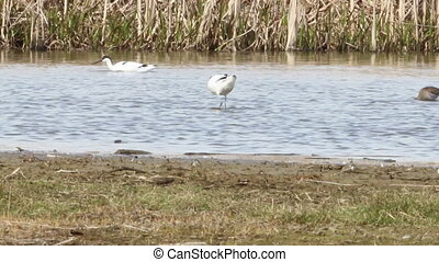 Avocet foraging in water