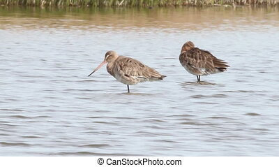 Black tailed Godwit resting in water