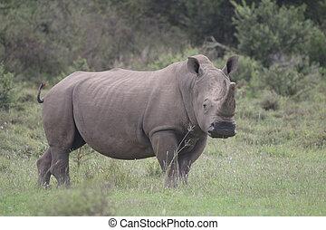 White Rhino Bull Alert