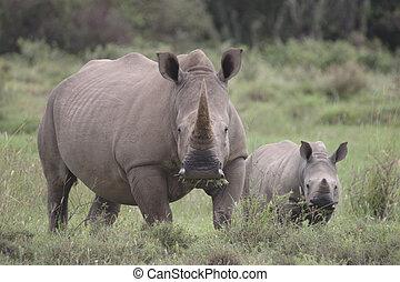Rhinos Looking at Me