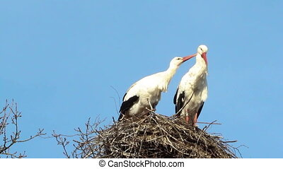 Stork couple cleaning each other on a nest