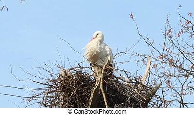 Stork yawning on its nest