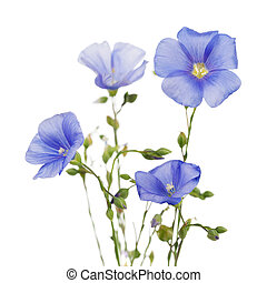 Flowers of flax isolated on white background