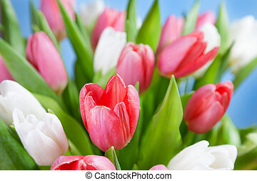 Red and white tulips on a blue background